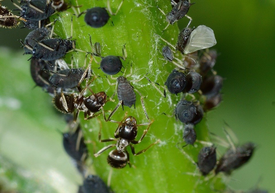 Get rid of aphids