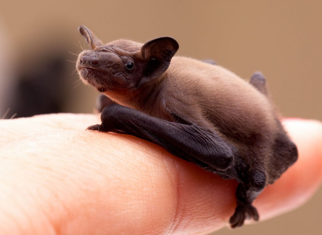 Bats and Mosquito control for your garden