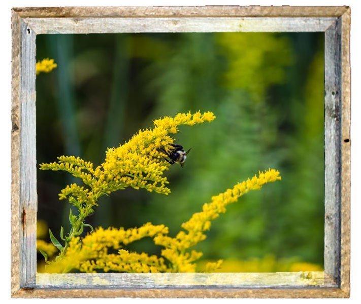 Solidago goldenrod flower