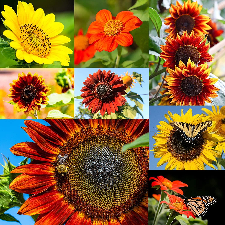 Sunflower Zebulon-bushes High bundles-Floral-seed envelope
