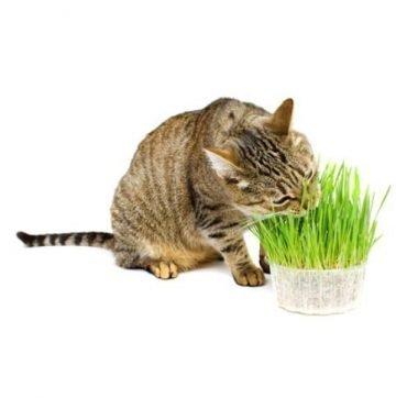 Non GMO Catnip Seeds