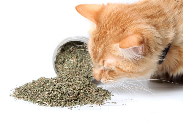 Grow Your Own Non-GMO Catnip Seeds - NatureZedge