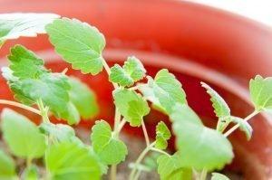 Grow Your Own Non-GMO Catnip Seeds