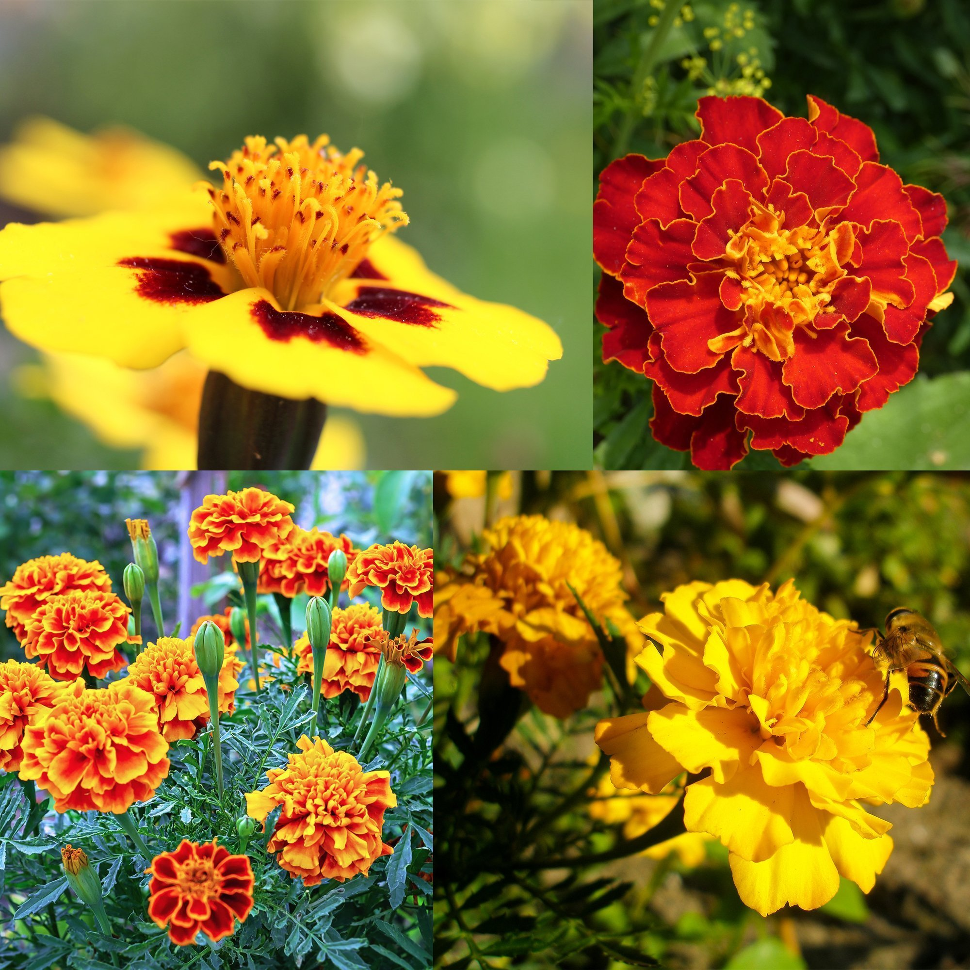 Marigold Seed Mix 3 Varieties 5600+ Seeds