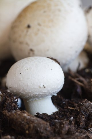 how to regrow mushrooms from kitchen scraps