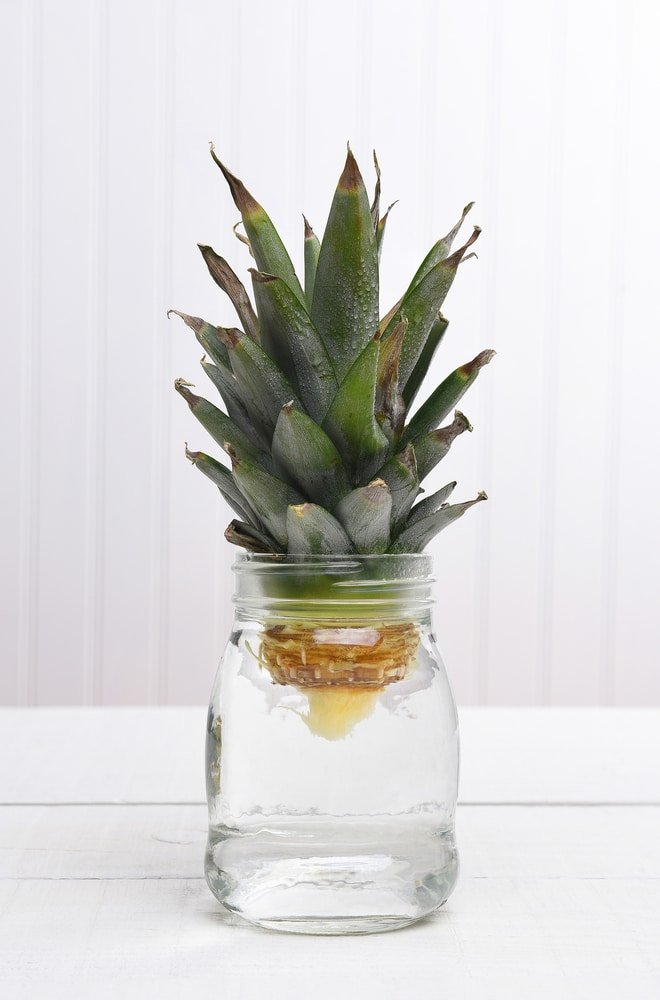 how to regrow pineapple from kitchen scraps