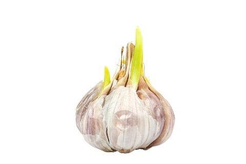 regrow garlic from table scraps