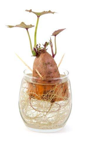 regrow sweet potatoes from scraps