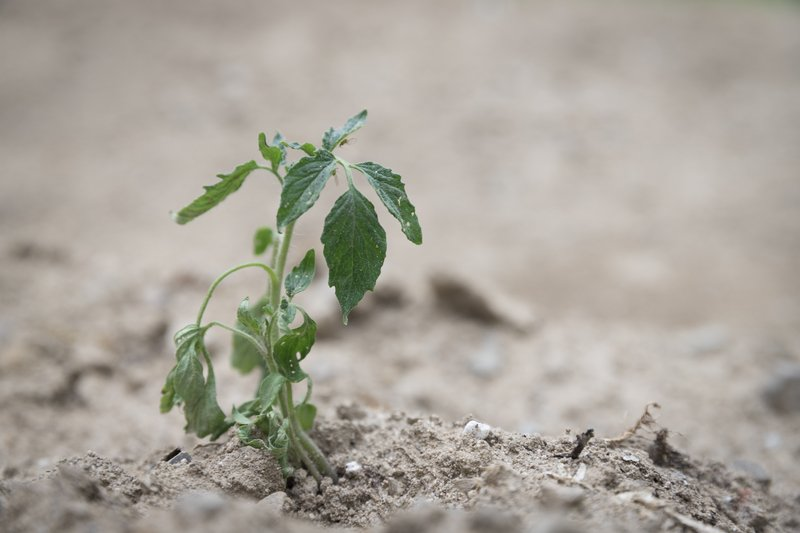 A tomato plant that is wilting because it was planted too early