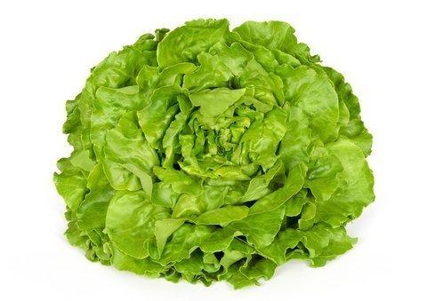 Bibb Winter Lettuce