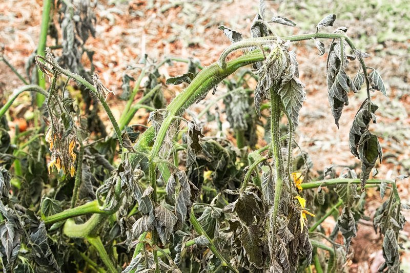 Humidity and climate Signs wilting or dying plants