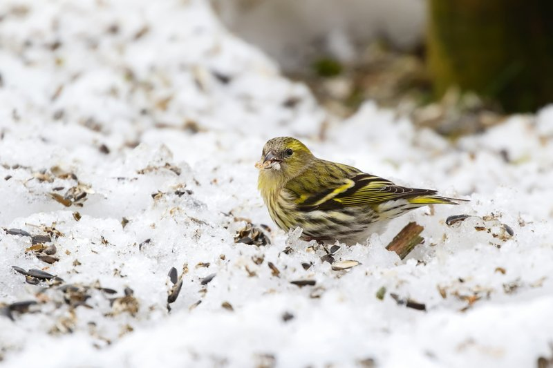 What Kind of Birds Stay in Winter?