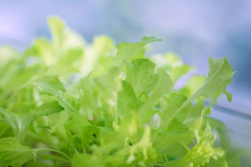 How to grow a year-round indoor salad garden