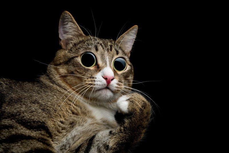 catnip fever