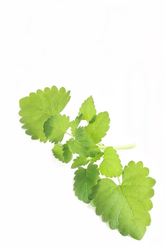 catnip Plant (Nepeta Cataria)