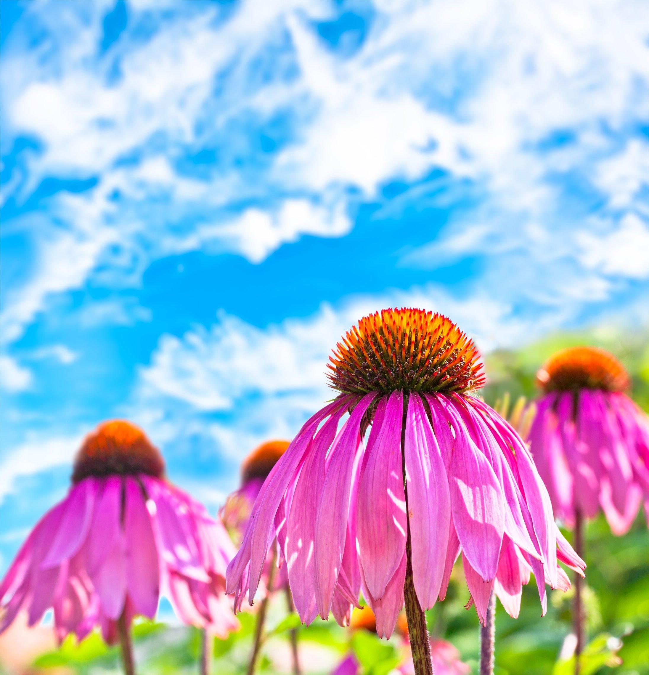 Echinacea Seeds 2
