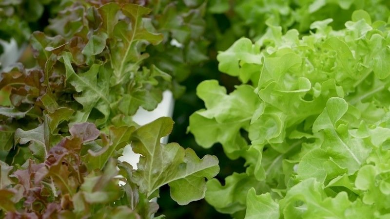 getting started how to grow salad greens all year round
