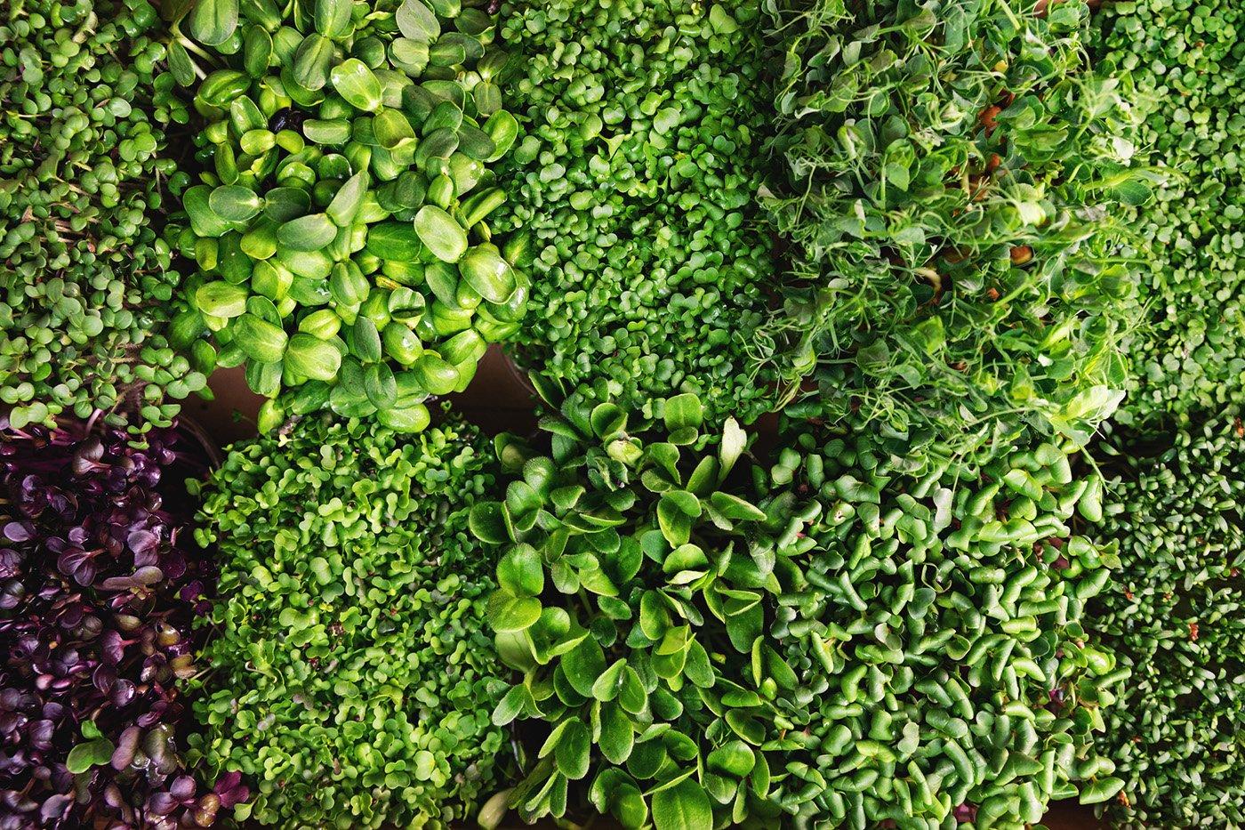 growing microgreens at home