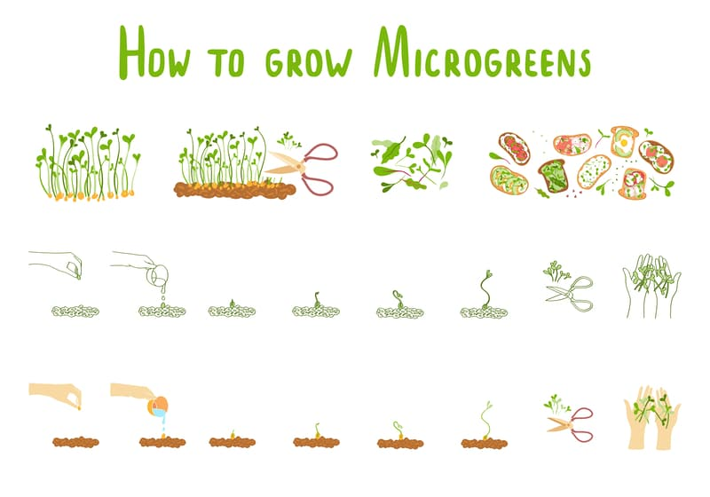 steps for growing microgreens at home microgreens need