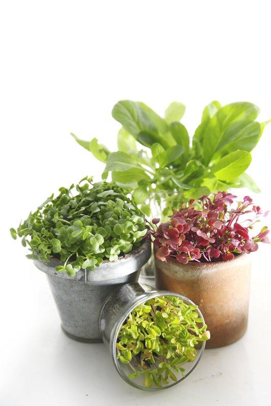 vibrant green microgreens in micro pots