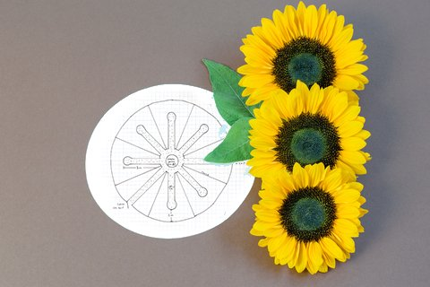 where to plant your sunflowers