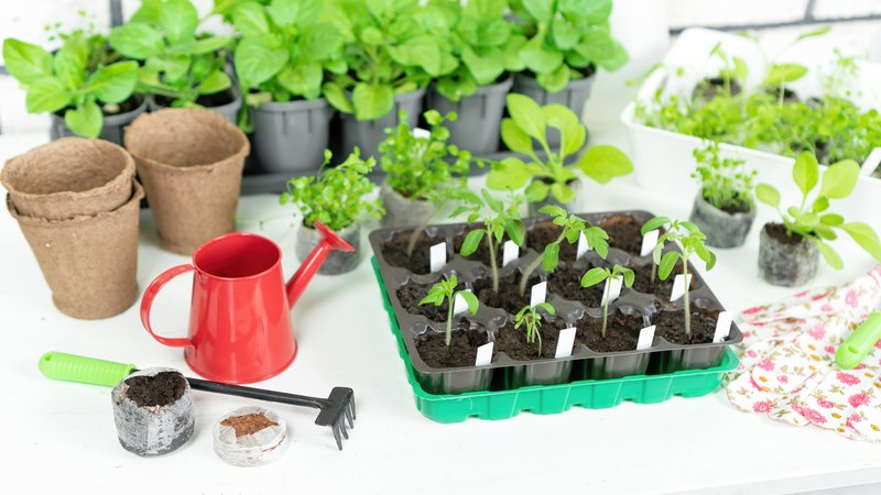 growing tomatoes from seeds indoors