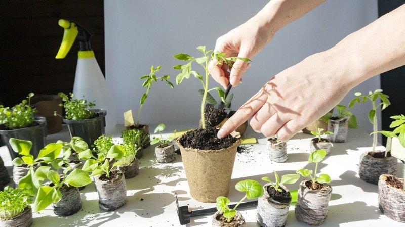 transplanting heirloom tomato plants