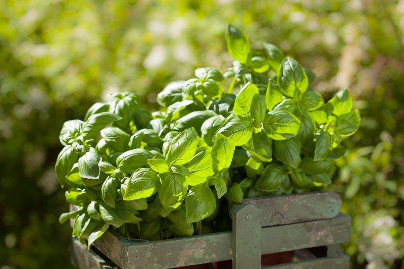 Lighting and sunshine for growing herbs