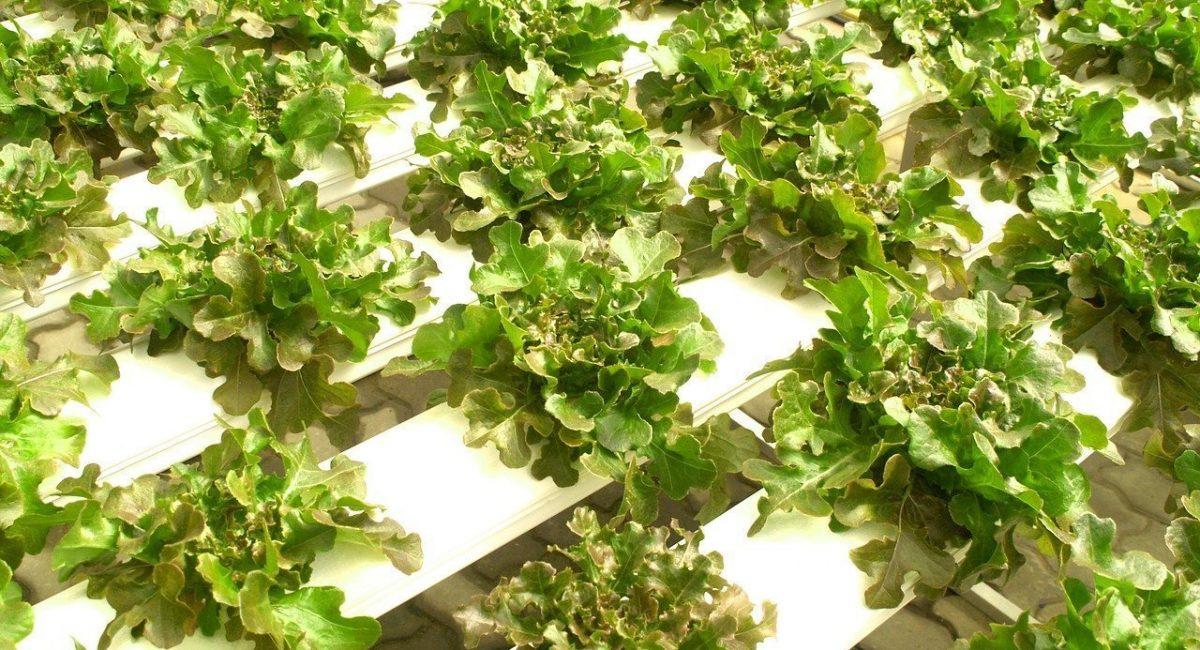vegetable greens grown in hydroponic garden