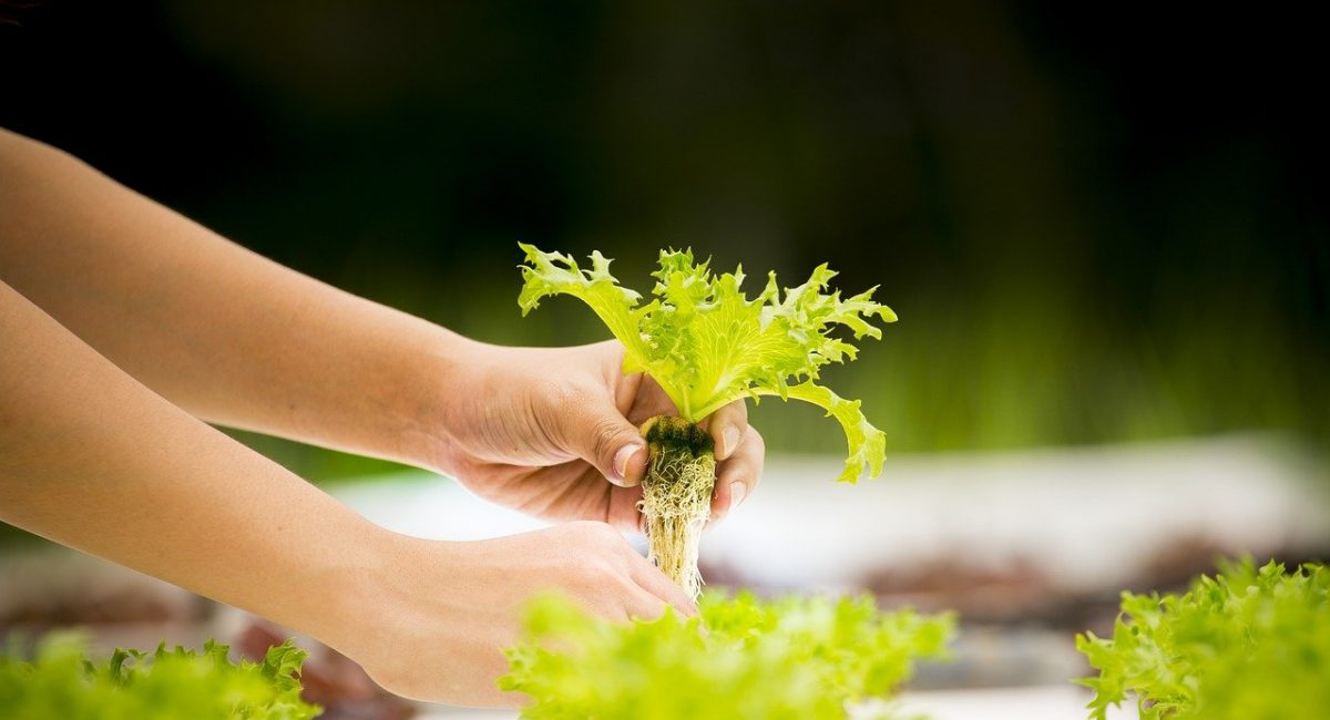 vegetable hydroponic garden